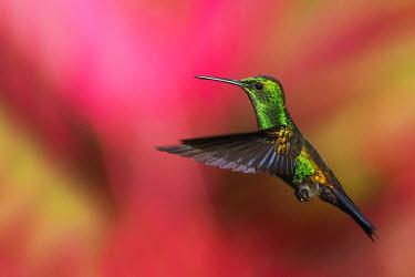 CA43KAR0037 Copper-rumped Hummingbird, Trinidad, Caribbean