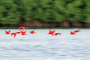 CA43KAR0055 Scarlet Ibis, Trinidad, Caribbean