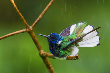 CA43KAR0062 White-necked Jacobin Bathing, Trinidad, Caribbean