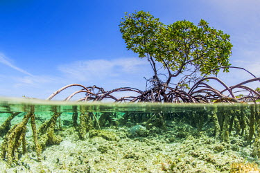 CA16JWH0016 Over and under water photograph of a mangrove tree in clear tropical waters with blue sky in background near Staniel Cay, Exuma, Bahamas