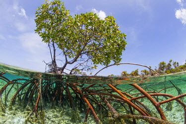 CA16JWH0024 Over and under water photograph of a mangrove tree in clear tropical waters with blue sky in background near Staniel Cay, Exuma, Bahamas