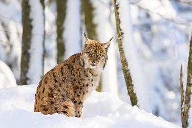 EU10MZW0983 Eurasian lynx (Lynx lynx ) during winter in National Park Bavarian Forest (Bayerischer Wald). Bavaria, Germany.