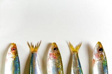 EU16NTO1113 Fresh anchovies (Engraulis encrasicolus) on white background