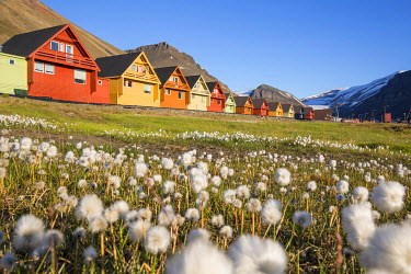 EU21BJY0264 Europe, Norway, Svalbard, Longyearbyen. Colorful houses and cottongrass field.