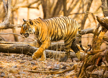 IND8116 Ranthambore National Park, Rajasthan, India. A tiger walking through the forest