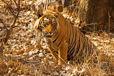 IND8130 Ranthambore National Park, Rajasthan, India. A tiger sitting in the forest