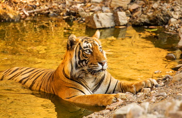 IND8137 Ranthambore National Park, Rajasthan, India. A tiger cooling off in water