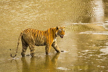IND8150 Ranthambore National Park, Rajasthan, India. A tiger cooling off in water