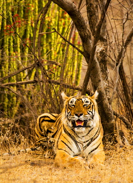 IND8154 Ranthambore National Park, Rajasthan, India. A tiger resting in the forest