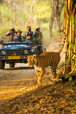 IND8172 Ranthambore National Park, Rajasthan, India. Tourists watching a tiger walking along the forest track