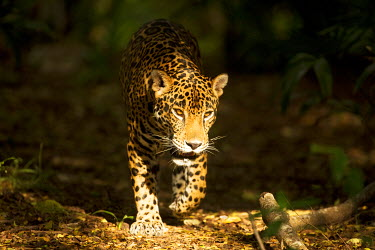 Mexico, Panthera onca, Jaguar in forest.