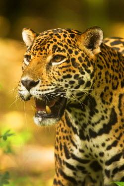 SA13DSL0028 Mexico, Panthera onca, Jaguar portrait.