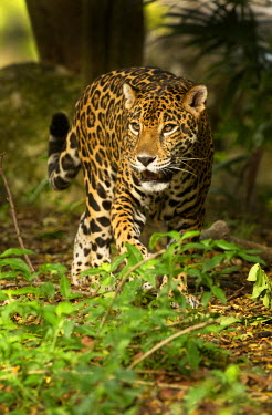 SA13DSL0029 Mexico, Panthera onca, Jaguar walking in forest.