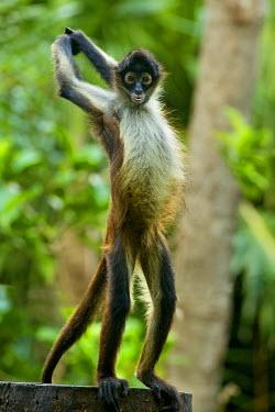SA13DSL0045 Mexico, Yucatan. Simia paniscus, Spider Monkey, adult standing.