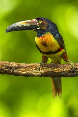 SA22BJY0030 Central America, Costa Rica, Sarapiqui River Valley. Collared Aracari bird on limb.