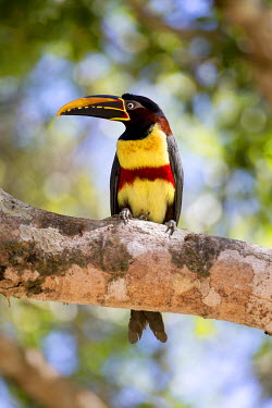 SA04EGO0043 Brazil, Mato Grosso, The Pantanal, chestnut-eared Aracari, (Pteroglossus castanotis). Chestnut-eared Aracari in a tree.