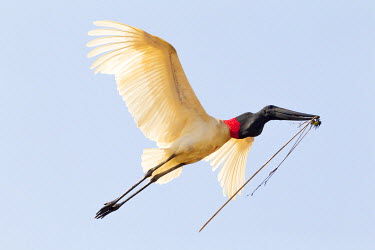 SA04EGO0102 Brazil, Mato Grosso, The Pantanal, jabiru (Jabiru Mycteria). Jabiru bringing material to the nest.