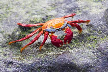 SA07EGO0008 Ecuador, Galapagos Islands, Sombrero Chino, Sally Lightfoot crab, (Grapsus grapsus). Sally Lightfoot crab on rock.