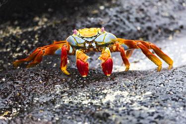 SA07EGO0011 Ecuador, Galapagos Islands, Sombrero Chino, Sally Lightfoot crab, (Grapsus grapsus). Sally Lightfoot crab on wet rocks.