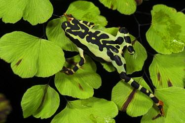 SA07POX2963 Harlequin frog (Atelopus spumarius) Captive, Amazon region of Ecuador.