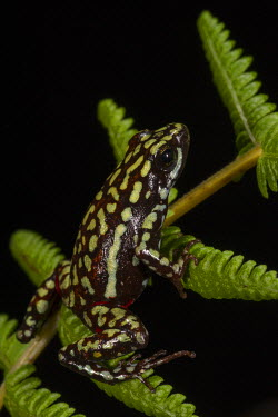 SA07POX2977 Phantasmal Poison Arrow Frog (Epipedobates tricolor) Captive, Central Ecuador. Epibatidine skin secretions used in medical research