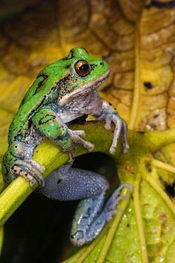 SA07POX2992 San Lucas Marsupial Frog (Gastrotheca pseustes) Andes, Ecuador, South America, IUCN status, Endangered, captive