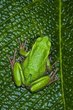 SA07POX2994 San Lucas Marsupial Frog (Gastrotheca pseustes) Andes Ecuador, IUCN status, Endangered. captive