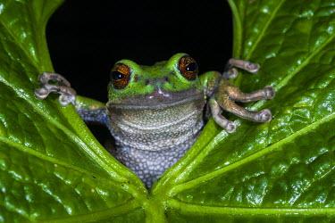 SA07POX2996 San Lucas Marsupial Frog (Gastrotheca pseustes) Andes Ecuador, IUCN status, Endangered. captive