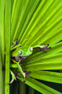 SA07POX3019 Agua Rica Leaf Frog (Phyllomedusa ecuatoriana) Captive, Amazon slopes Ecuador. Threatened species due to habitat loss. Endangered