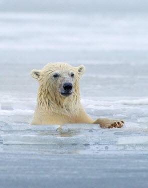 US02HGA0222 Polar Bears near Kaktovic, Alaska