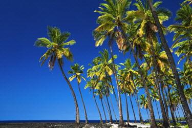 US12RBS0046 Coconut palms at Pu'uhonua O Honaunau National Historic Park (City of Refuge), Kona Coast, Hawaii