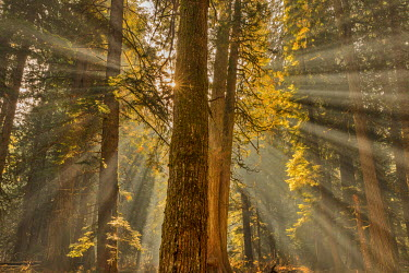 US27CHA3510 Sun rays penetrate the forest floor at Ross Creed Cedar Grove in the Kootenai National Forest, Montana, USA