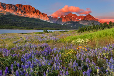 US27CHA3600 Prairie wildflowers in meadow in Glacier National Park, Montana, USA