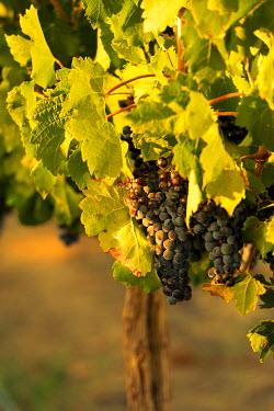 US48RDU2229 USA, Washington State, Red Mountain. Cabernet Sauvignon grapes from the estate vineyard of Hightower Cellars.