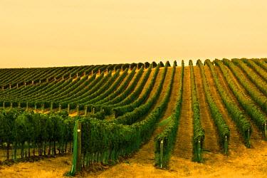 US48RDU1935 USA, Washington State, Walla Walla. Harvest on Blue Mountain Vineyard