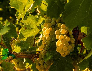 US48RDU2130 USA, Washington State, Yakima Valley. Boushey Vineyard. Sauvignon Blanc grapes