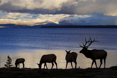 US51KAR0220 Rocky Mountain Bull and Cow Elk