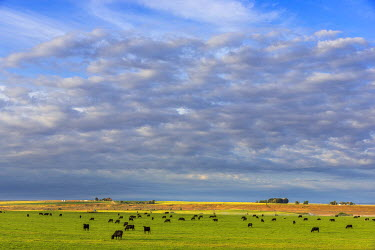 US51CHA0237 Black angus beef cattle graze in pasture in Worland, Wyoming, USA
