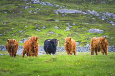 SCO34495AW Highland Cattle, Isle of Lewis, Outer Hebrides, Scotland