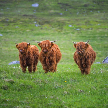 SCO34496AW Highland Cattle, Isle of Lewis, Outer Hebrides, Scotland
