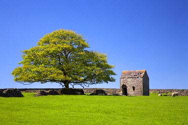 ENG13735AW Oak Tree & Stone Barn, Tideswell, Peak District National Park, Derbyshire, England
