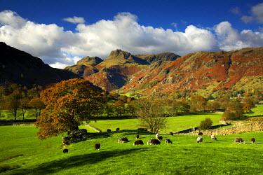 ENG13742AW Grazing Sheep, Great Langdale, Lake District National Park, Cumbria, England