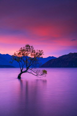 NZ9076AW Wanaka Tree at Sunset, Lake Wanaka, New Zealand