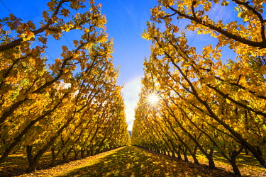 NZ9118AW Apricot Trees in Autumn, Cromwell, New Zealand