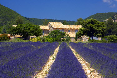 FRA9368AW Villa & Field of Lavender, Banon, Alpes de Haute, Provence, France