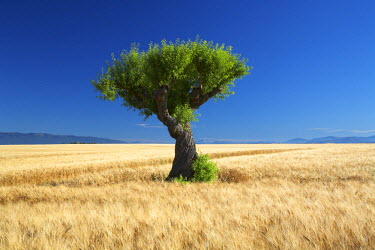 FRA9371AW Lone Tree in Field of Barley, near Valensole, Alpes de Haute, Provence, France