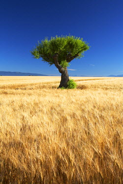 FRA9372AW Lone Tree in Field of Barley, near Valensole, Alpes de Haute, Provence, France