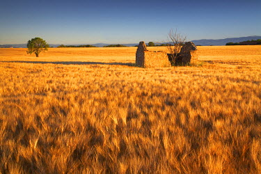 FRA9375AW Lone Barn in Field of Barley, near Valensole, Alpes de Haute, Provence, France