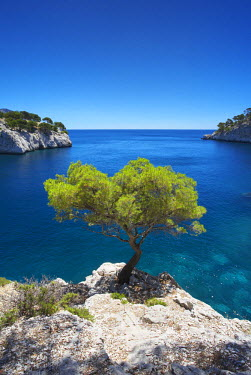 FRA9384AW Lone Pine Tree, Les Calanques, Cassis, Provence, France