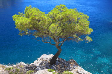 FRA9385AW Lone Pine Tree, Les Calanques, Cassis, Provence, France